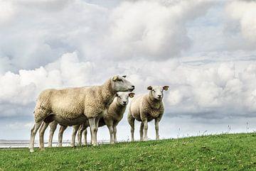 Wie is het schaap met de 5 poten von Marnefoto .nl
