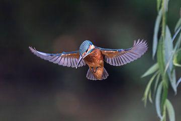 Praying Kingfisher in schönem Licht von Robbie Nijman
