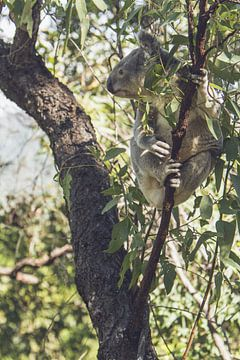 Koala in de eucalyptus boom van Geke Woudstra