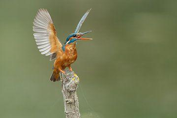 IJsvogel von Menno Schaefer