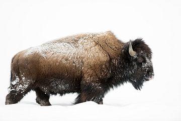 American Bison ( Bison bison ), bull, walking through deep snow van