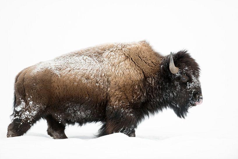American Bison ( Bison bison ), bull, walking through deep snow van wunderbare Erde