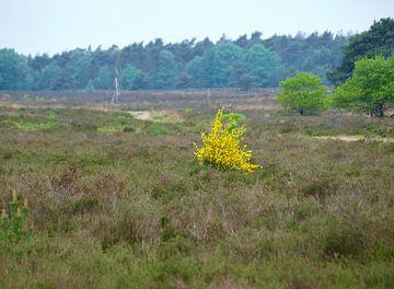 Heide met gele struik van Rinke Velds