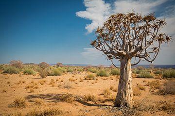 kokerboom in de woestijn van Ed Dorrestein