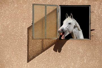 Portrait de cheval blanc von Eric Dufour