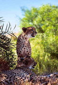 Twee volwassen cheeta's van Bobsphotography