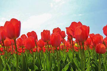 Rode tulpen van Leendert van Rossum