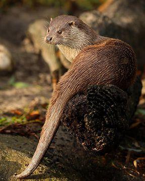 Otter regarde au loin sur Patrick van Bakkum