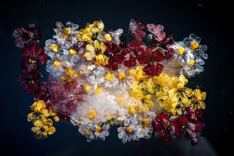 Fotos von Blumen, die im Eis eingefroren sind von Thilo Wagner