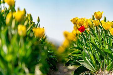 Tulipes sur Texel - Soyez différent