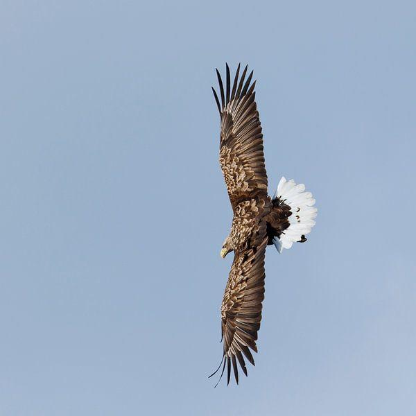 Zeearend met gespreide vleugels van Karla Leeftink