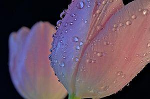 Tulpen in de regen.