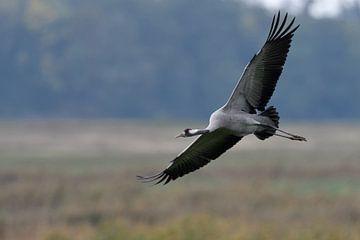 Kranich ( Grus grus, Graukranich ) im Flug, wildlife, Europa. von wunderbare Erde
