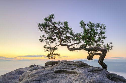 Pine Tree in Saxon Switzerland van Michael Valjak