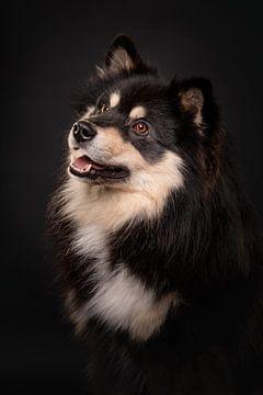 Porträt eines Finnischer Lapphund mit schwarzem Hintergrund 3/3 von Lotte van Alderen
