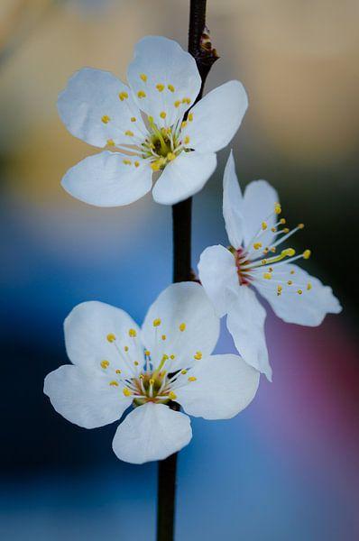3x de Bloesem aan de boom van Sven Wildschut