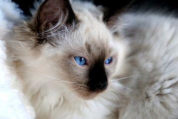 Ragdoll kitten met blauwe ogen van Arline Photography