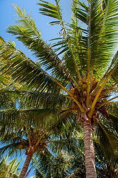 Kokosnoten in de boom van Barbara Brolsma