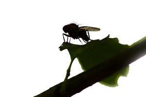 Fly on leaf von