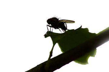 Fly on leaf sur