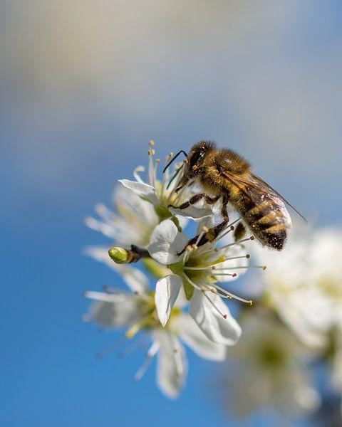 Biene auf Blüte von John van de Gazelle