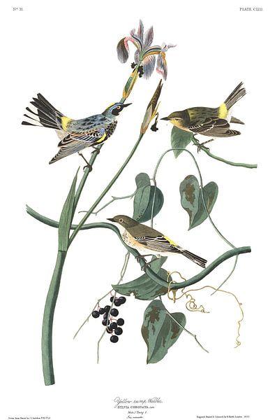Geelstuitzanger van Birds of America