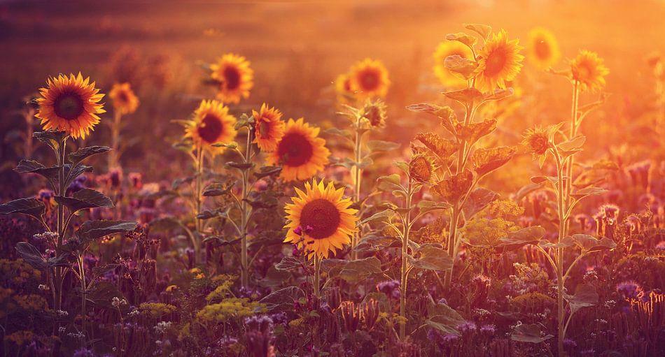 sunflowers in last sunlight.....