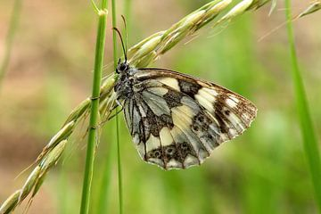 Butterfly on grass van Ioana Hraball
