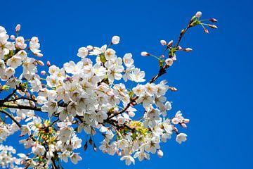 Kirschblüte von Peter Leenen