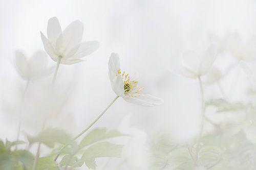 Bosanemoon in de lente van Vandain Fotografie