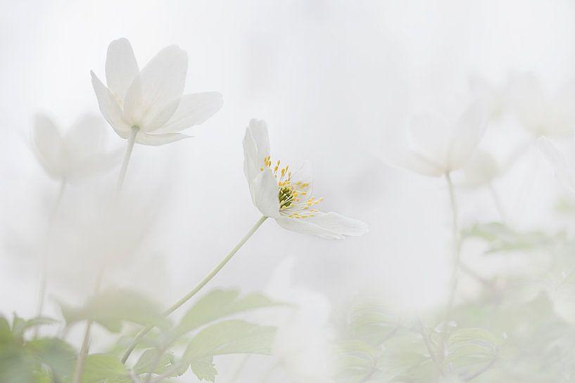 Bosanemoon in de lente van Ingrid Van Damme fotografie