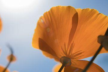 Orangenmohn von JacQ