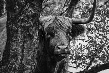Schotse hooglander speelt verstoppertje van