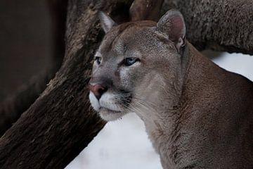 La tête gracieuse d'un puma gracieux - un beau chat prédateur, en gros plan sur un fond de bûche. sur Michael Semenov