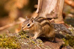 Siberische grondeekhoorn op een omgevallen boom in het bos van