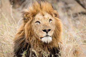 Leeuw (Panthera leo) van