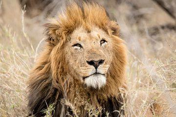 Leeuw (Panthera leo) van Anton Van Beek