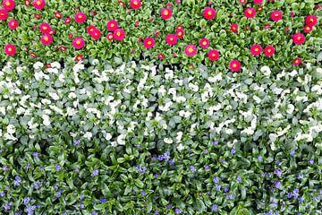 Blumen in Reihen in rot, weiß und blau, die Farben der niederländischen Flagge von Ben Schonewille