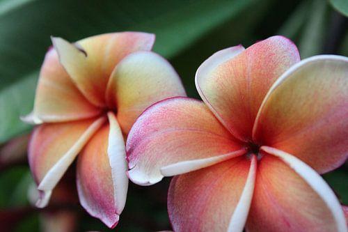 Frangipani  bloemen van Fanny Nordberg