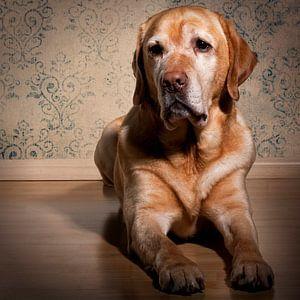 Labrador retriever sur Mathijs Van den Brand