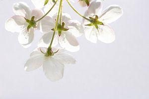 Witte bloesem van