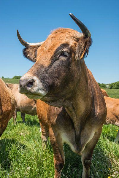 La vache Aubrac van gerald chapert