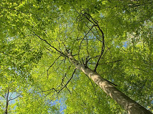 Beuk met fris groene lenteblaadjes, zicht van onderaan