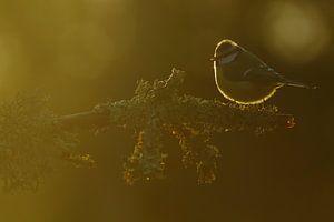 Pimpelmees in de zon. van Alex Roetemeijer