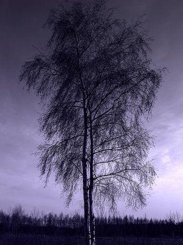 Ingetogen schoonheid van zilverberken in de winter