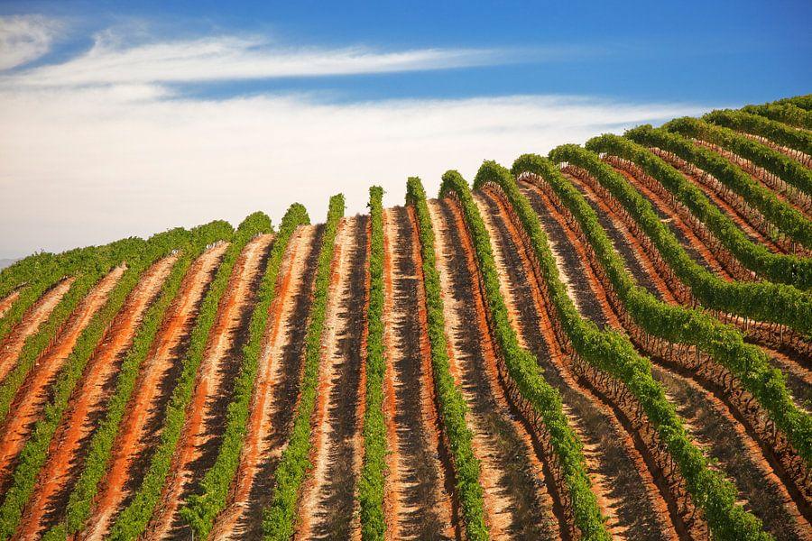 Wijnranken in Stellenbosch, Zuid-Afrika