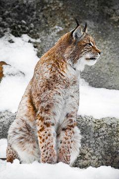 Een mooie en sterke wilde lynx zit rechtop in de sneeuw. van Michael Semenov