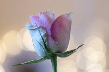 rose éblouissante sur Tania Perneel