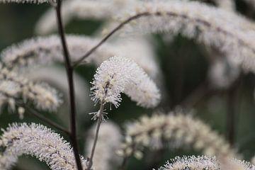 weiße Herbstpflanze von Tania Perneel