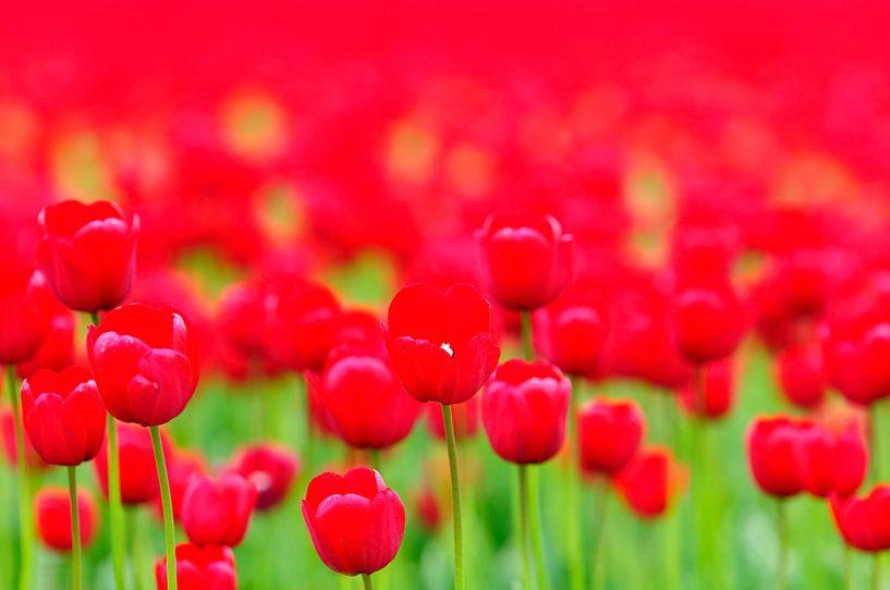 Rode Tulpen van Sjoerd van der Wal